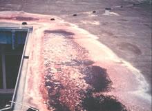 Rood algen